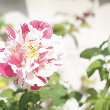 fleurs-roses-talmont